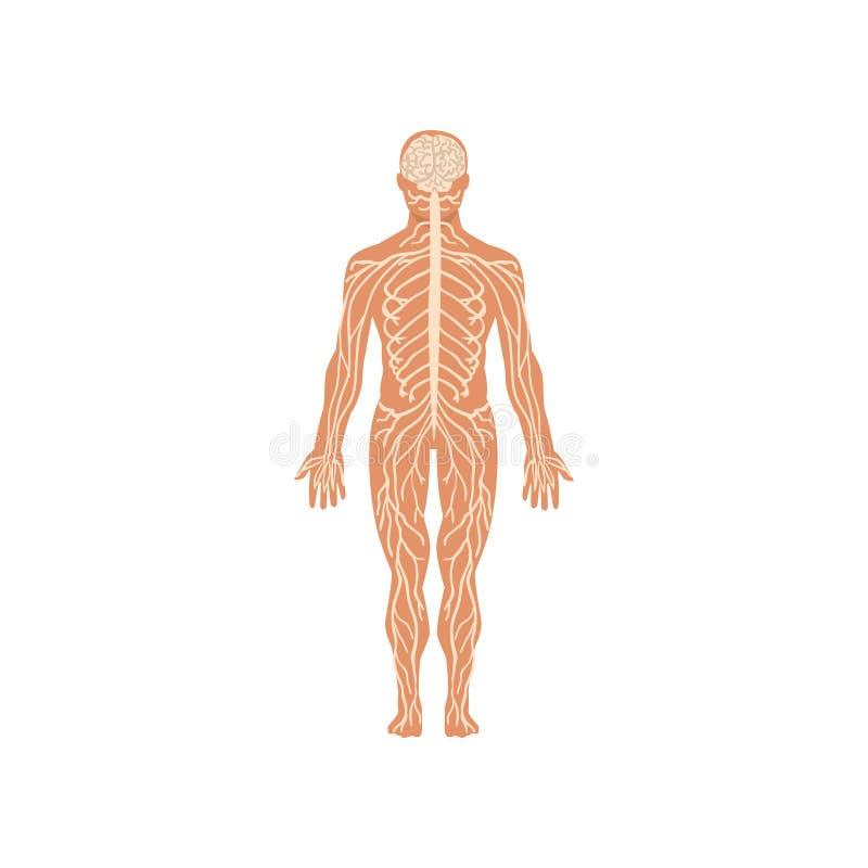 人的神经系统,人体在白色背景的传染媒介例证解剖学  向量例证