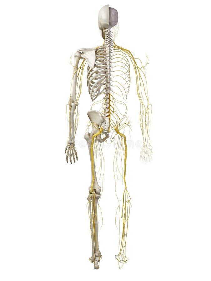 人的神经系统 向量例证