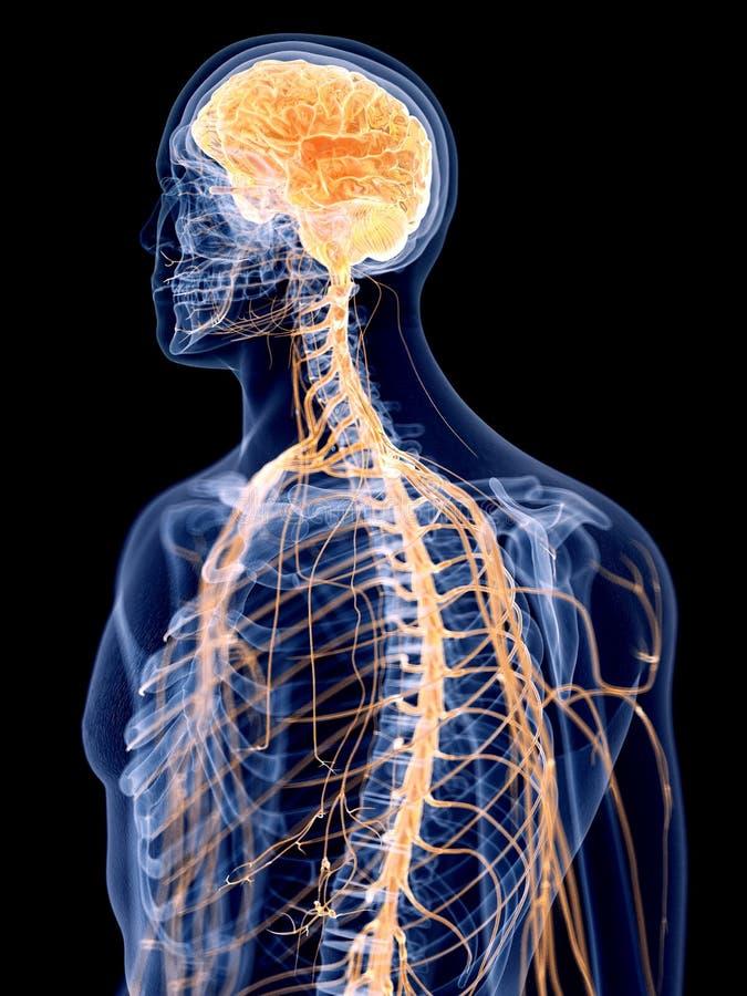 人的神经系统 库存例证