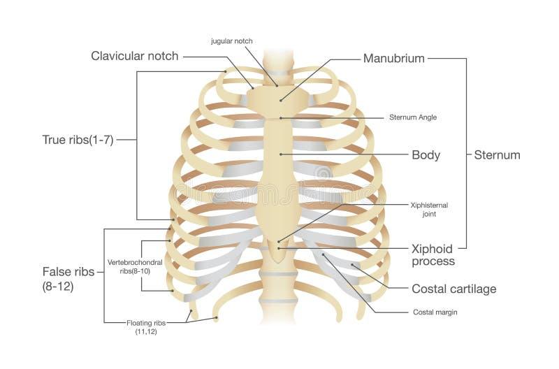 人的肋骨解剖学  向量例证