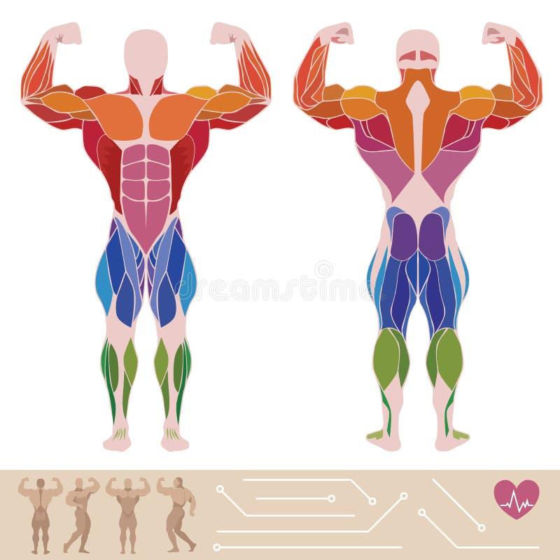人的肌肉系统,解剖学,后部和先前视图, 库存例证