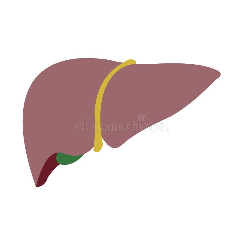 人的肝脏的传染媒介图象在白色背景的 免版税库存照片