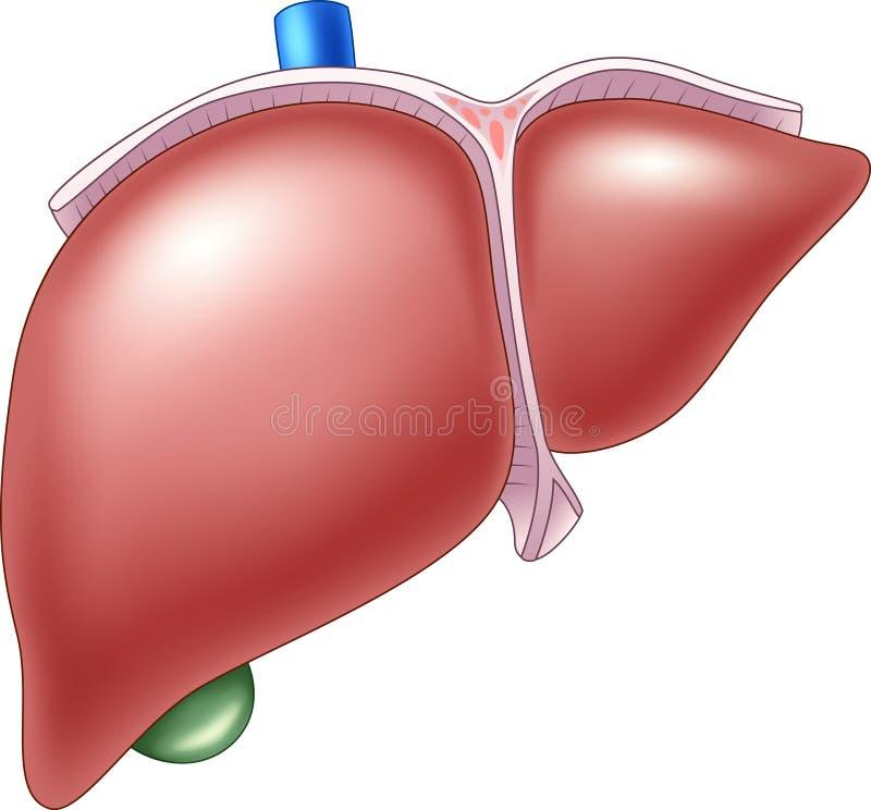 人的肝脏解剖学的动画片例证 皇族释放例证
