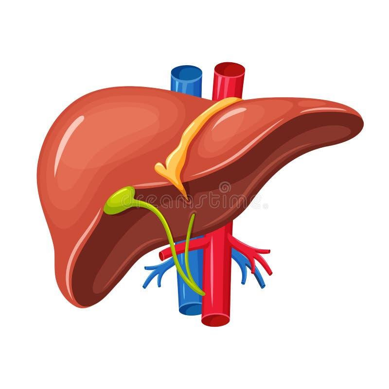 人的肝脏解剖学 皇族释放例证