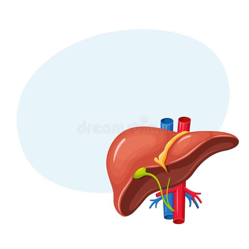人的肝脏解剖学 库存例证