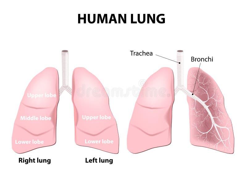 人的肺的解剖学 皇族释放例证