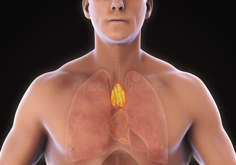 人的胸腺解剖学 向量例证