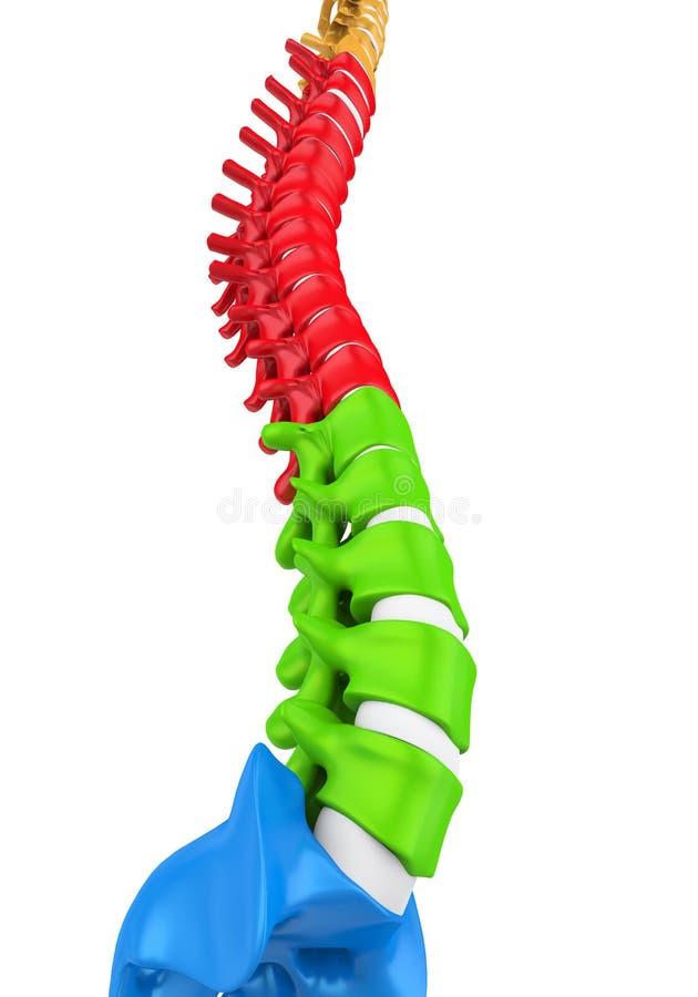 人的脊椎解剖学例证 皇族释放例证