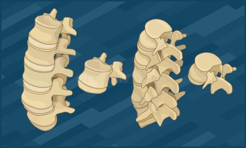 人的脊椎去骨平等量 向量例证