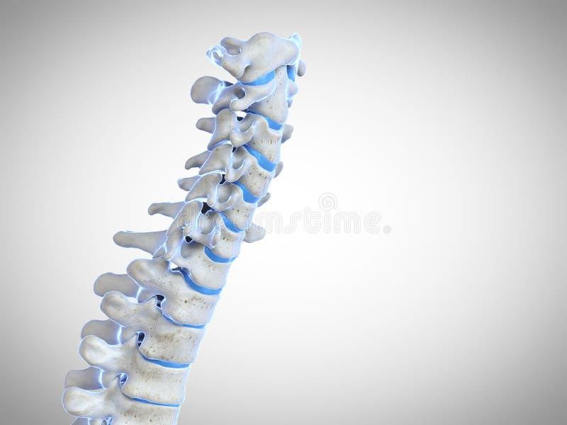 人的脊椎 向量例证