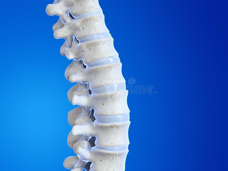 人的脊椎 皇族释放例证