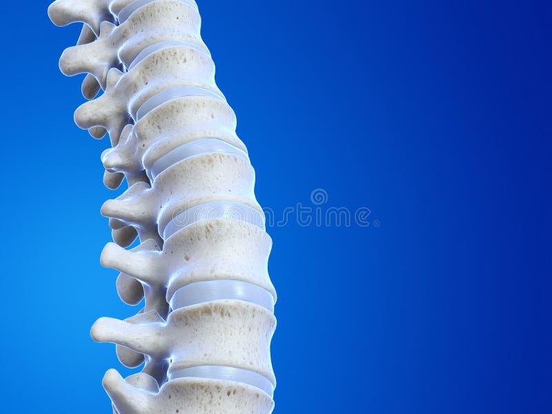 人的脊椎 库存例证