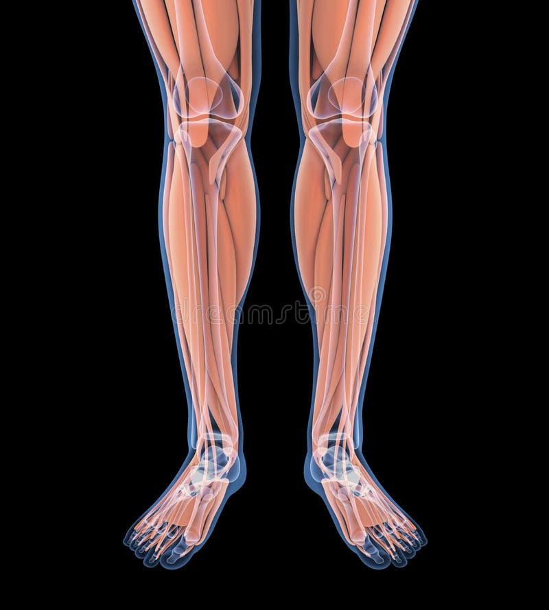 人的腿干涉解剖学 库存例证