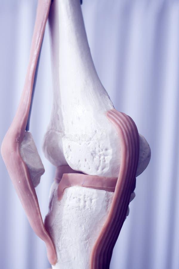 人的膝盖关节半月板模型 库存图片