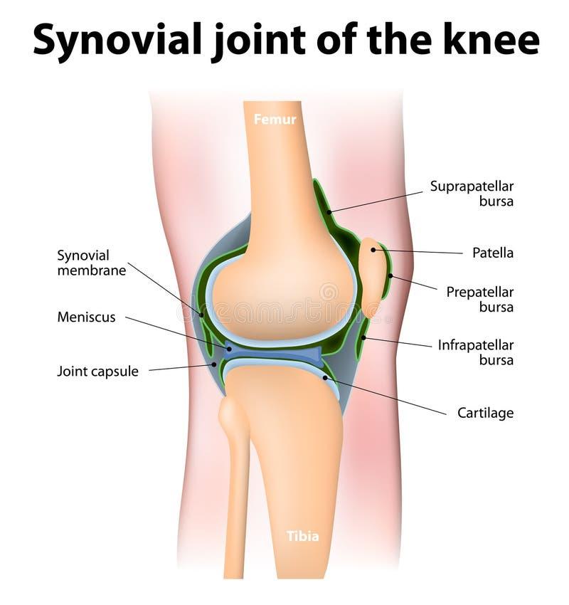 人的膝盖的滑液的伯萨 向量例证