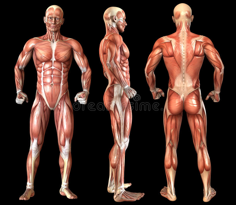 人的解剖学充分的身体肌肉 向量例证