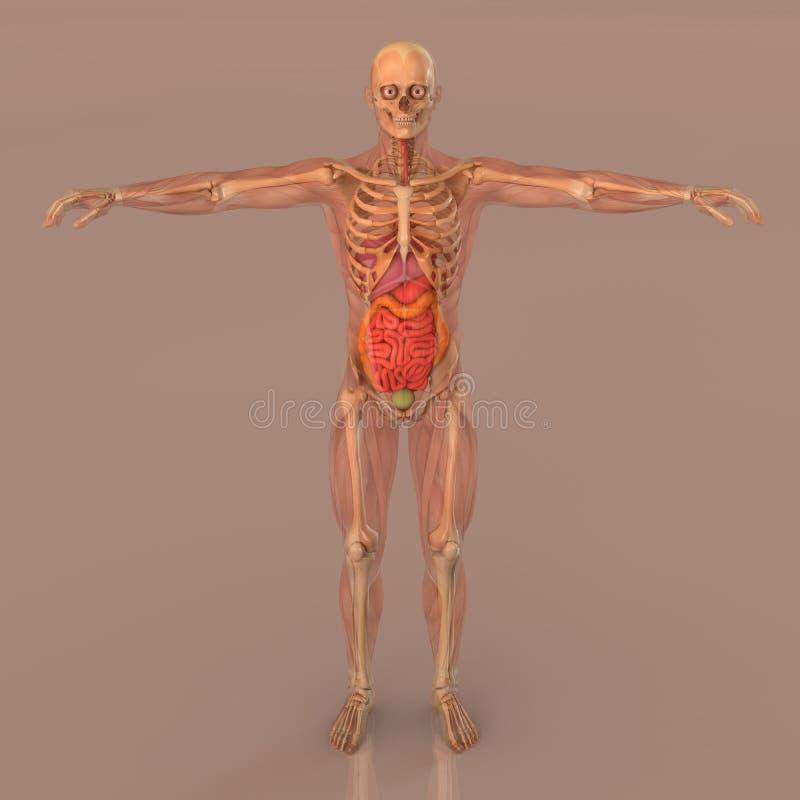 人的解剖学充分的身体骨骼 向量例证