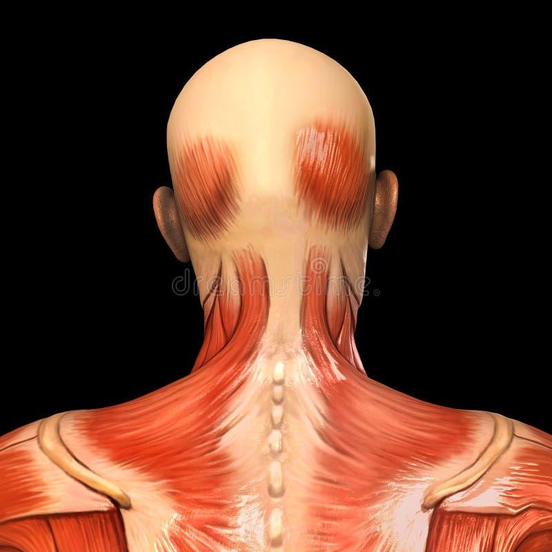 人的解剖学后部顶头肌肉 皇族释放例证