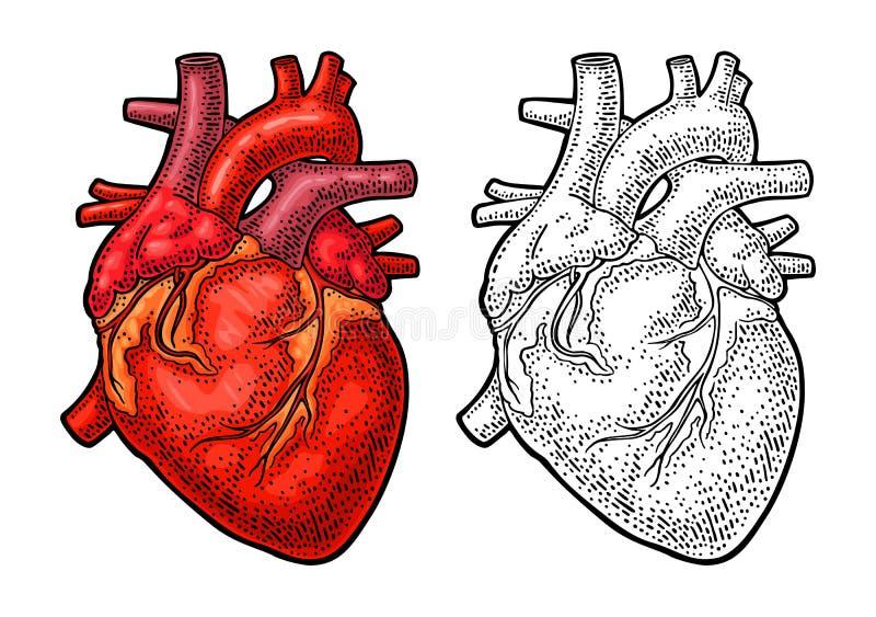 人的解剖学心脏 传染媒介颜色葡萄酒板刻例证 库存例证