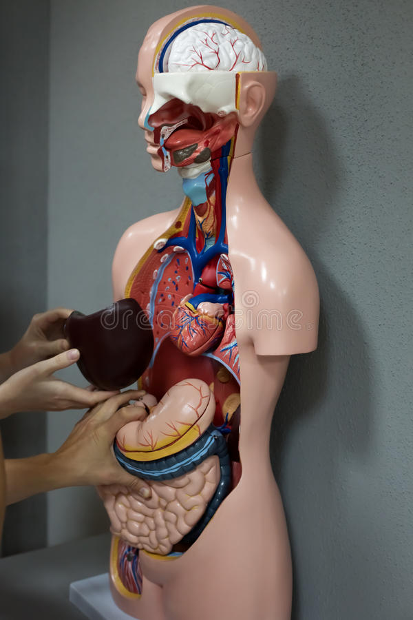 人的解剖学时装模特 库存图片