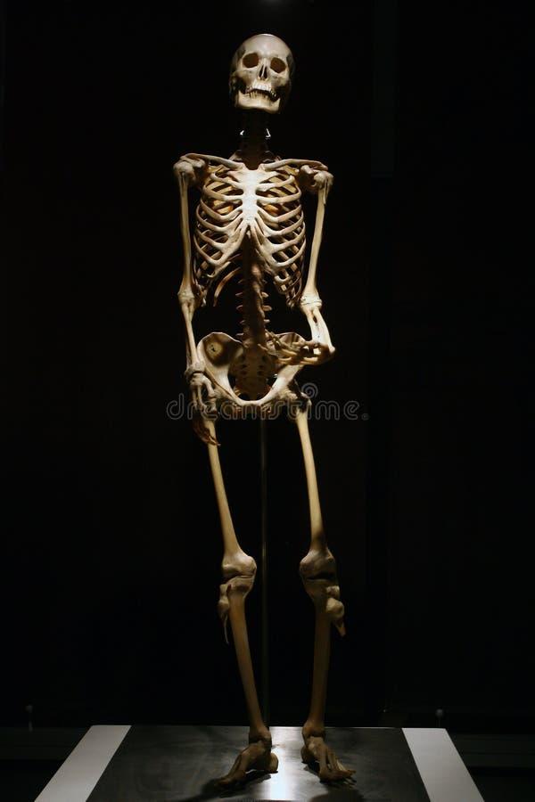 人的解剖学真正的骨骼 免版税库存图片
