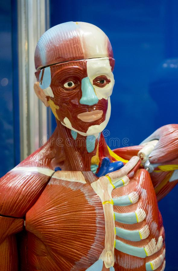 人的解剖学结构 免版税库存图片