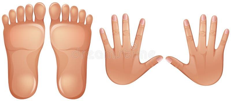 人的解剖学脚和手 向量例证