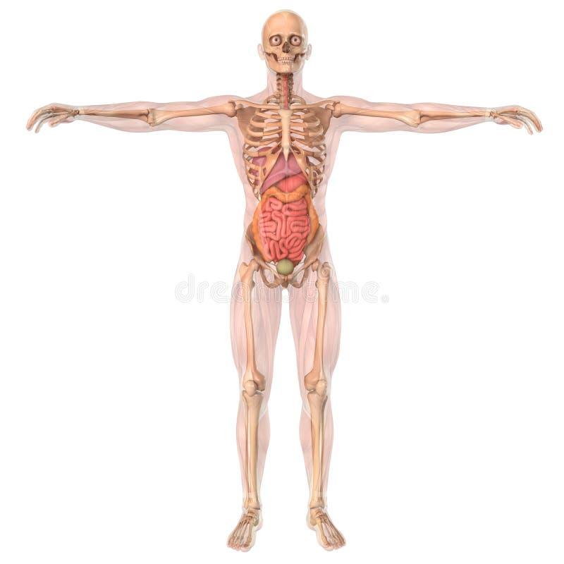 人的解剖学骨骼和器官 库存例证