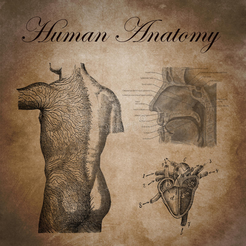 人的解剖学,紧张的设备的研究 向量例证