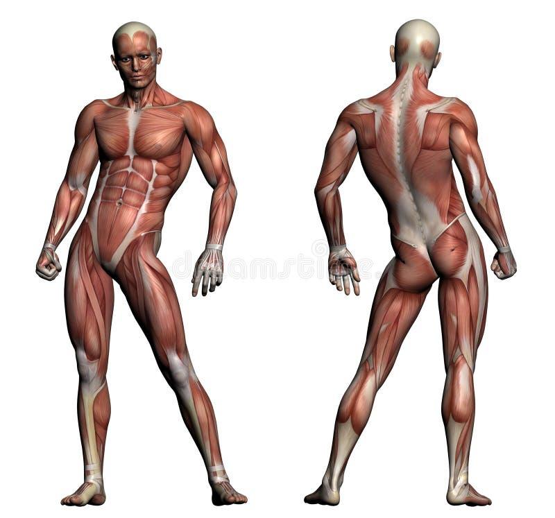 人的解剖学-男性肌肉 向量例证