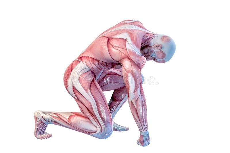 人的解剖学-男性肌肉 3d例证 库存例证