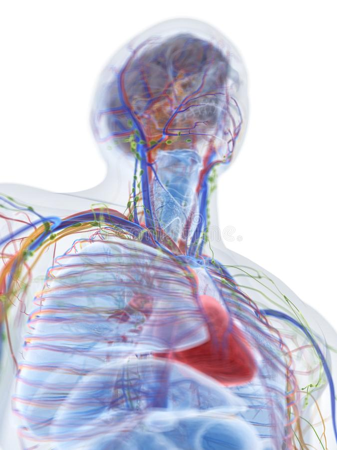 人的解剖学 皇族释放例证