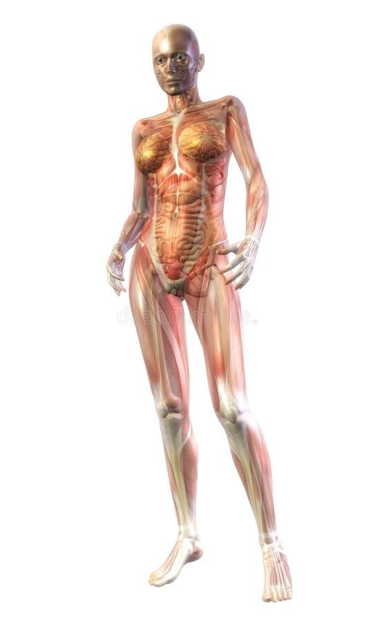 人的解剖学 向量例证