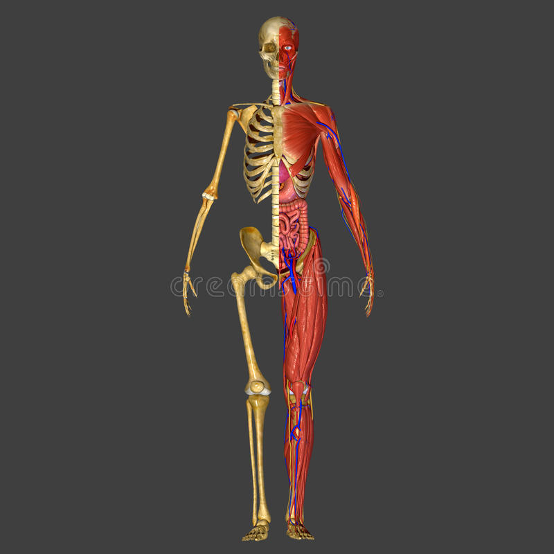 人的解剖学 免版税库存照片