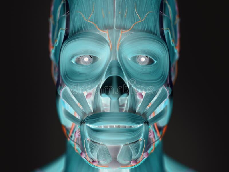 人的面孔解剖学象X-射线的视图  免版税图库摄影