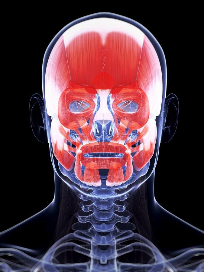 人的面部肌组织 向量例证