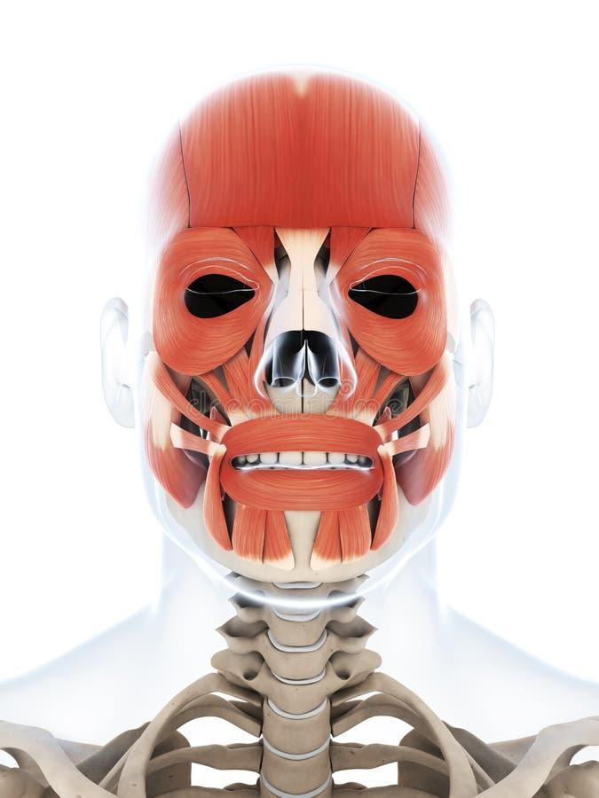 人的面部肌组织 库存例证