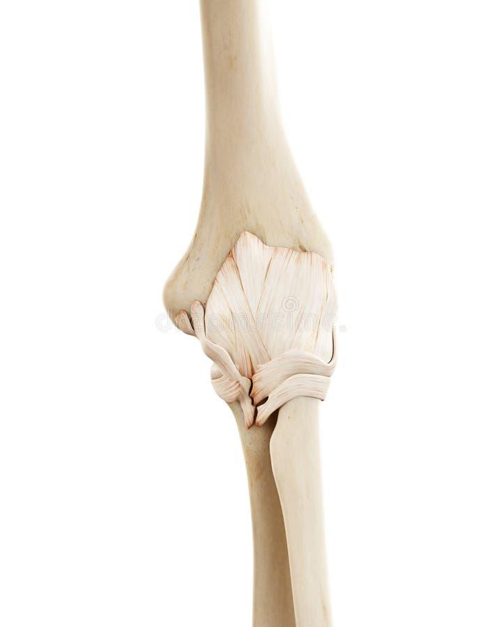 人的骨骼手肘 皇族释放例证