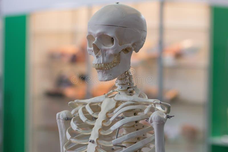 人的骨骼的模型 免版税库存照片