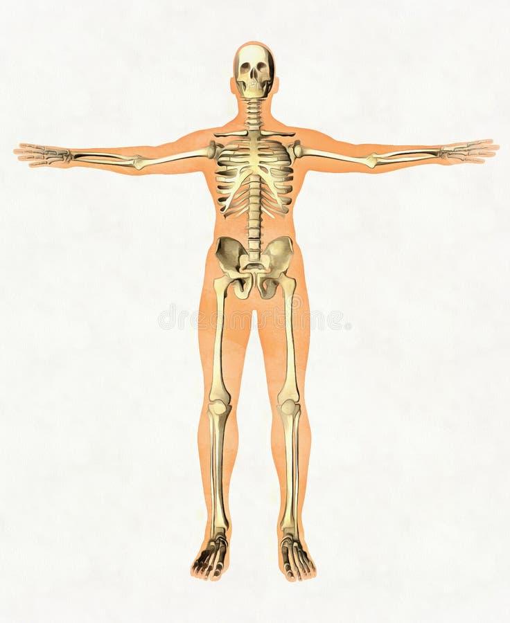 人的骨骼解剖学指南  骨多的系统教诲板  正面图 库存照片