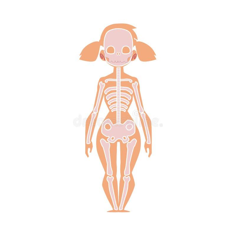 人的骨骼,女性身体解剖学图  向量例证
