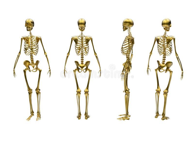 人的骨骼-不同的看法 库存例证