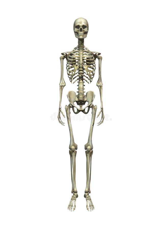 人的骨骼 向量例证