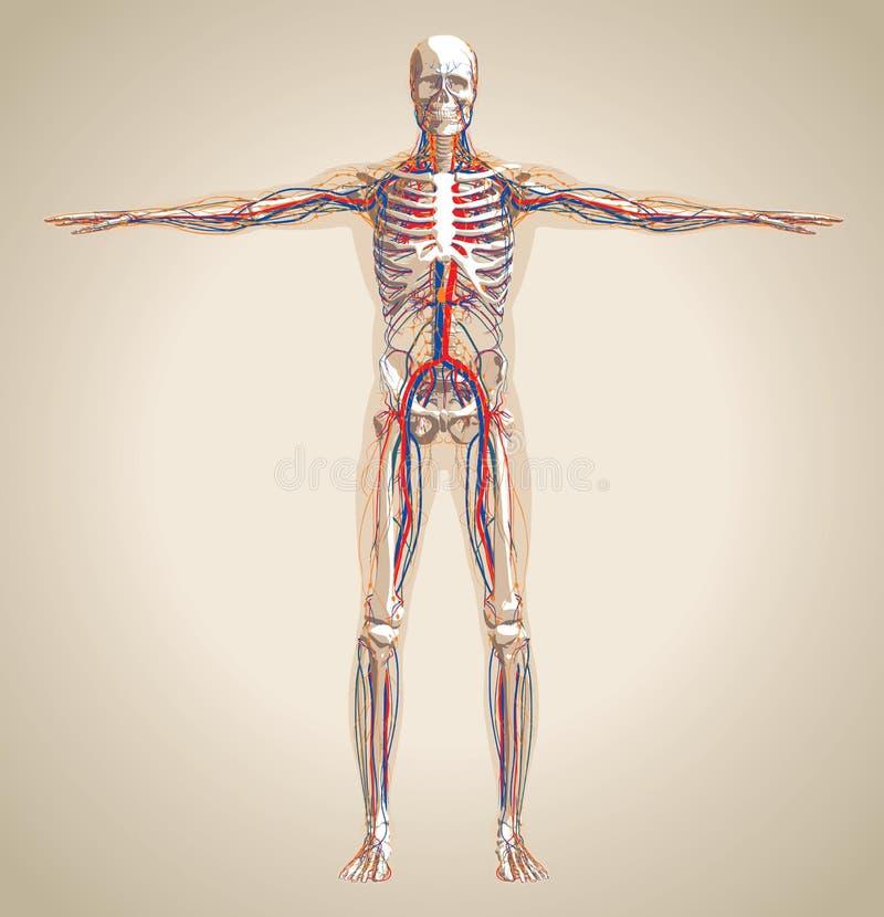 人的(男性)循环系统,神经系统和淋巴sy 库存例证