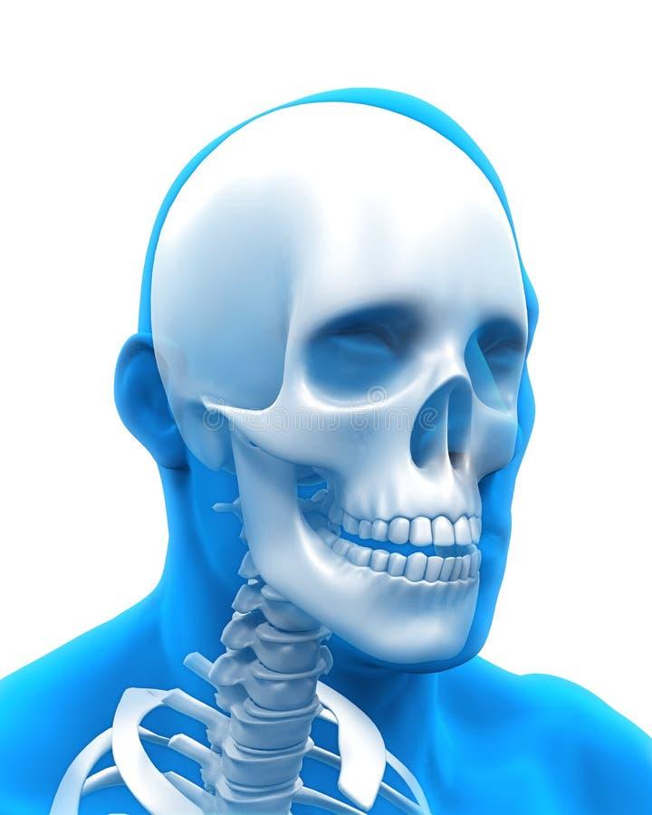 人的头骨解剖学例证 皇族释放例证