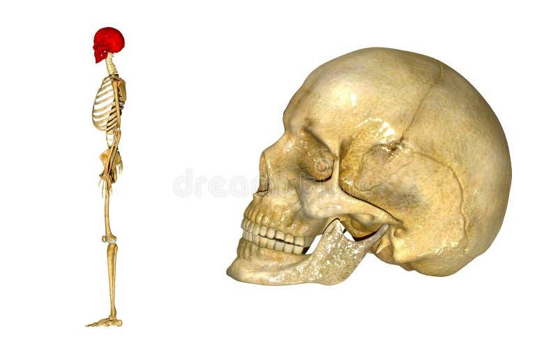 人的头骨边 向量例证