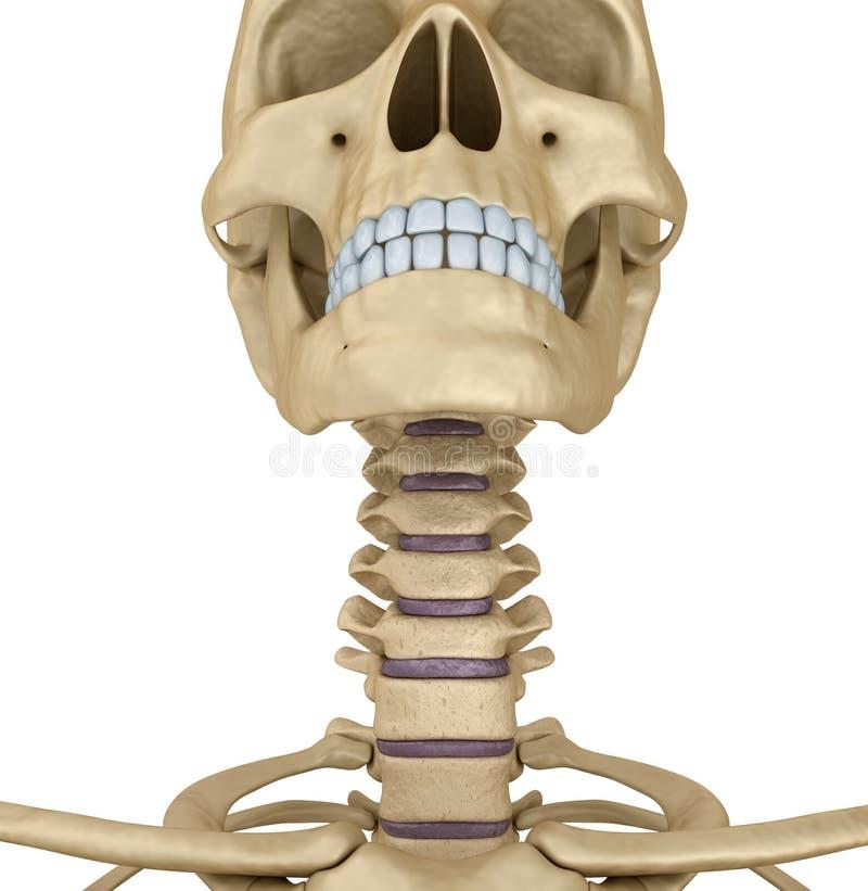 人的头骨骨骼:喉头,被隔绝 皇族释放例证