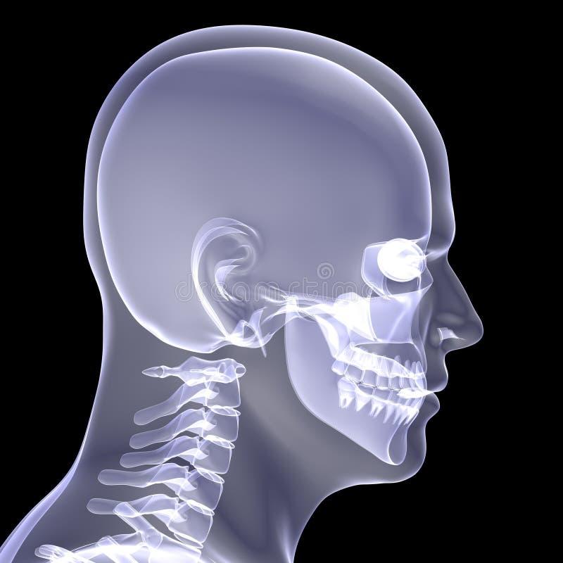 人的头 向量例证