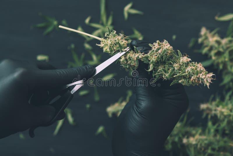 人种植者整理新鲜的收获大麻芽 大麻接近的,顶视图结霜了蓝色 图库摄影