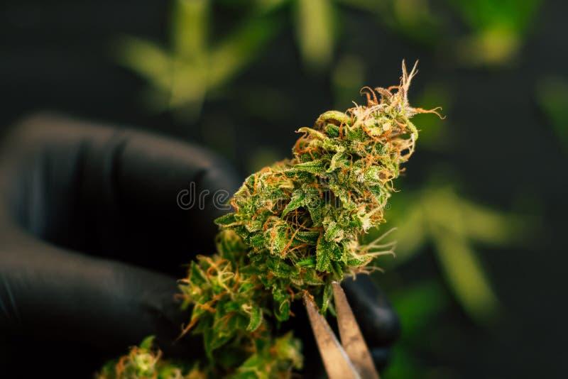 人种植者整理新鲜的收获大麻芽 大麻 库存照片
